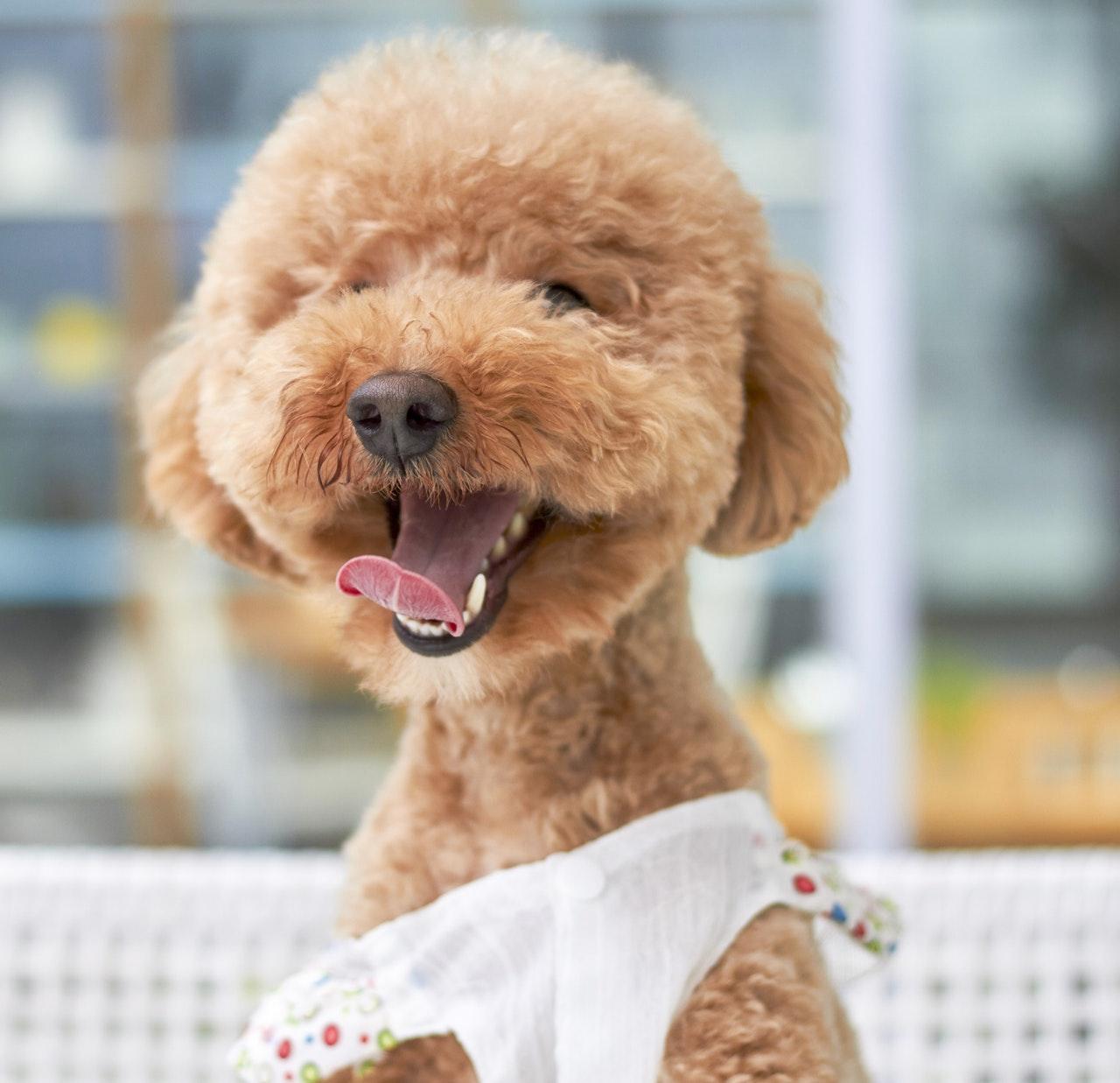 Dog grooming in edmond
