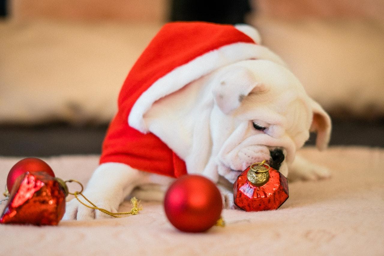 bull dog christmas