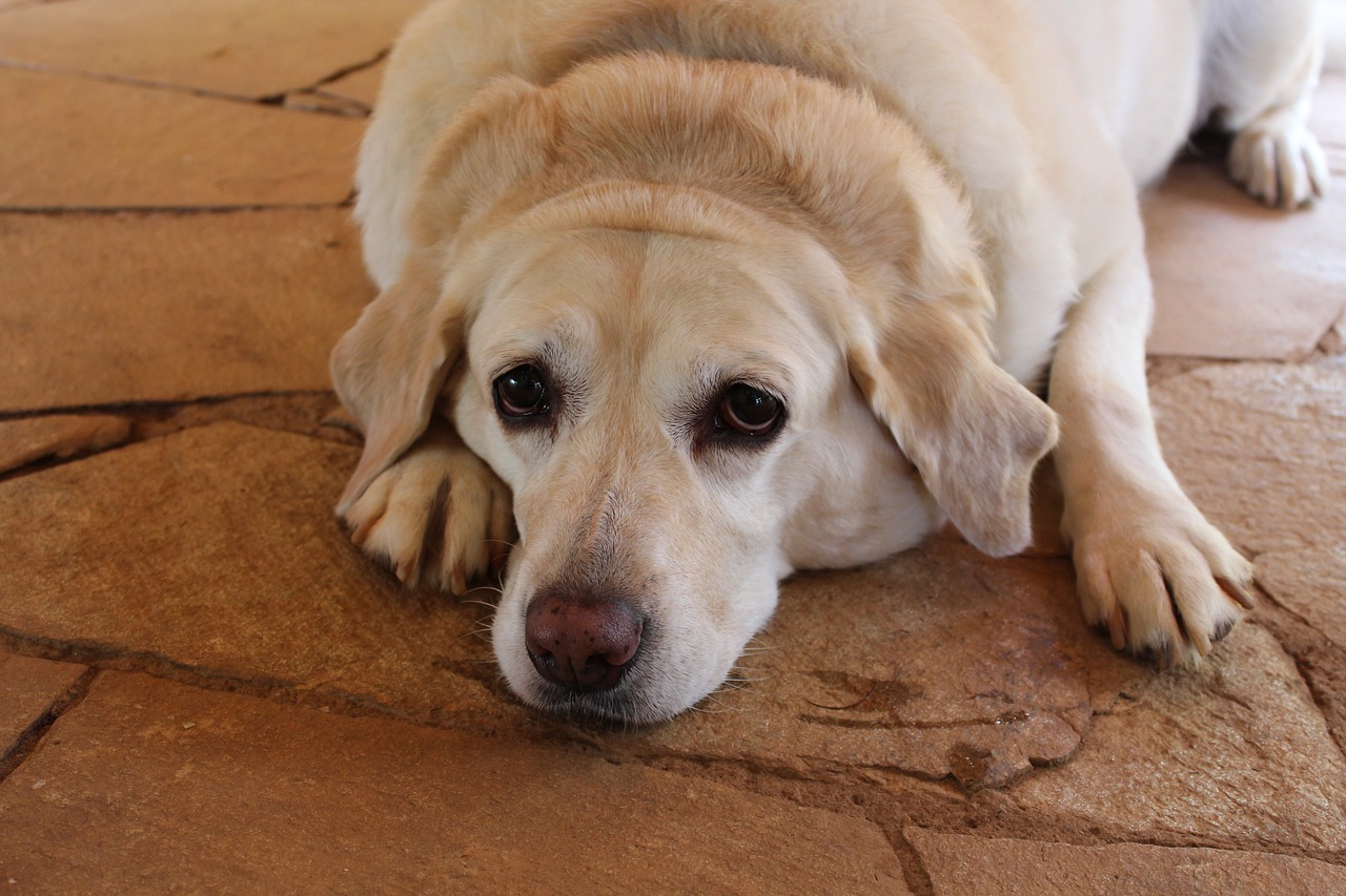 How to Help Your Fat Dog Lose Weight